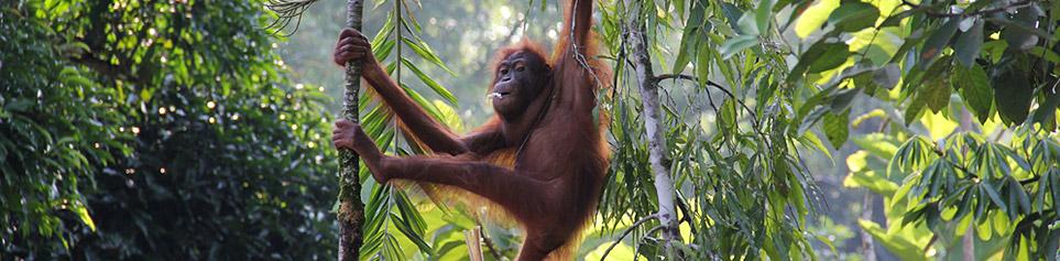 Borneo Rundreisen Affen Familie