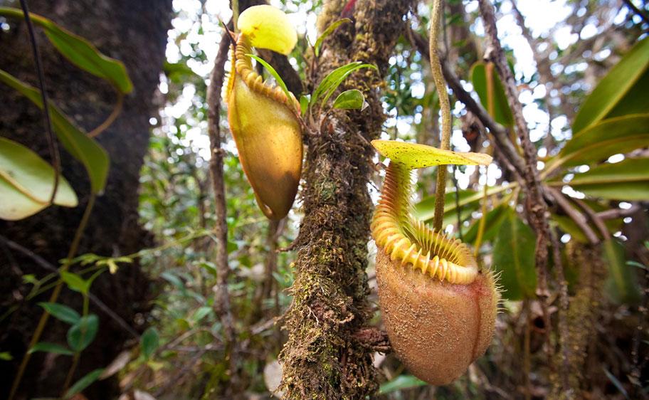 Kannenpflanze Affenfresserpflanze in Borneo