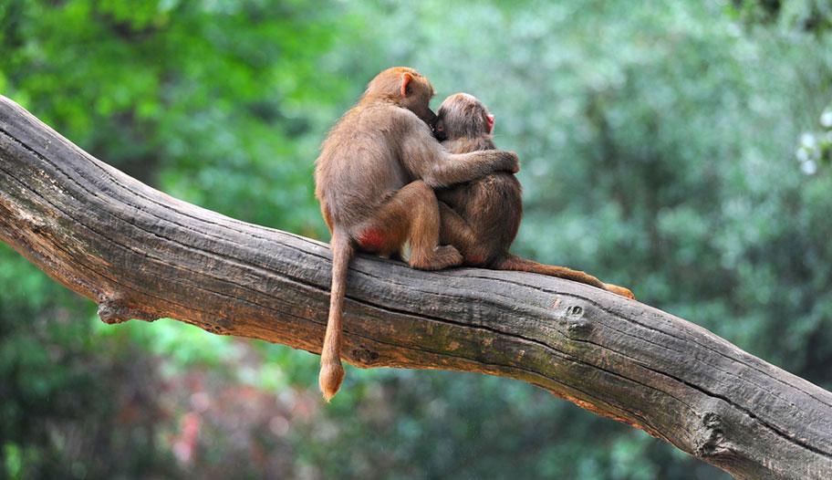 Malaysia Affenpärchen verliebt auf Baum Honeymoon