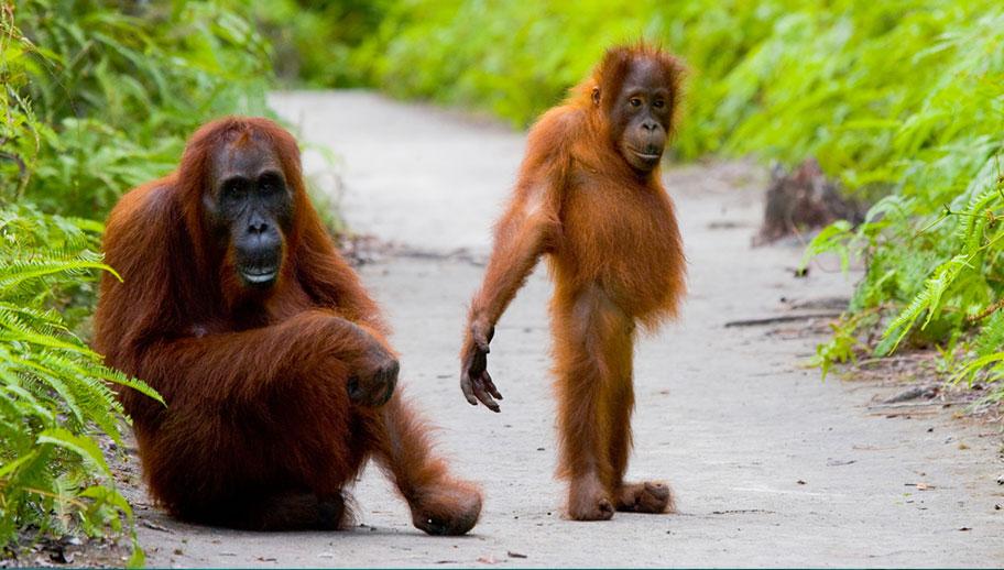 Orang Utans Borneo Aufzucht Hilfe Menschen