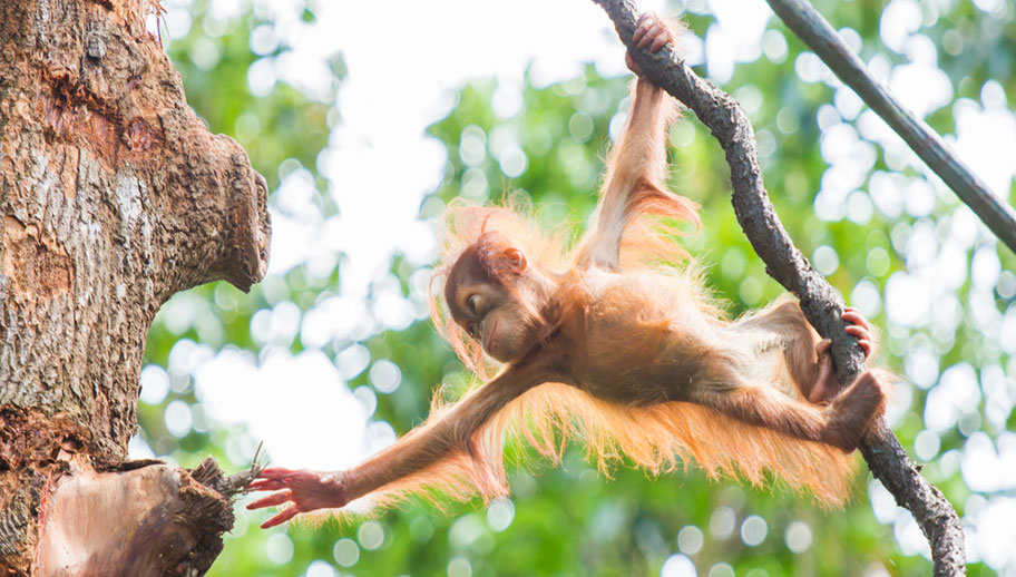 Orang Utan Baby am Klettern in Borneo Malaysia
