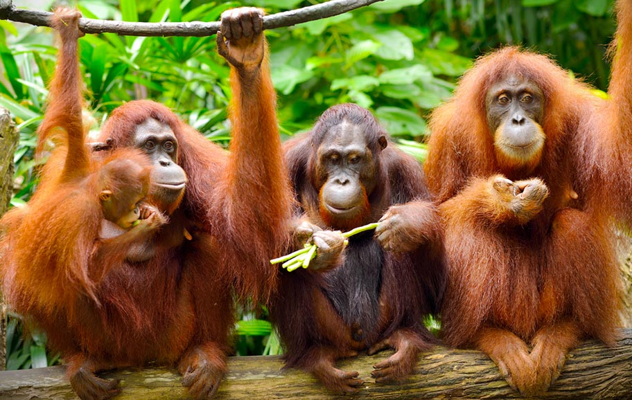 Orang Utan Fütterung Malaysia Borneo Familie
