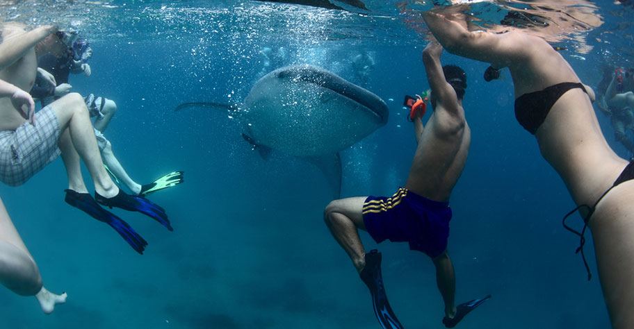 Schnorchler schwimmen mit Walhai Philippinen